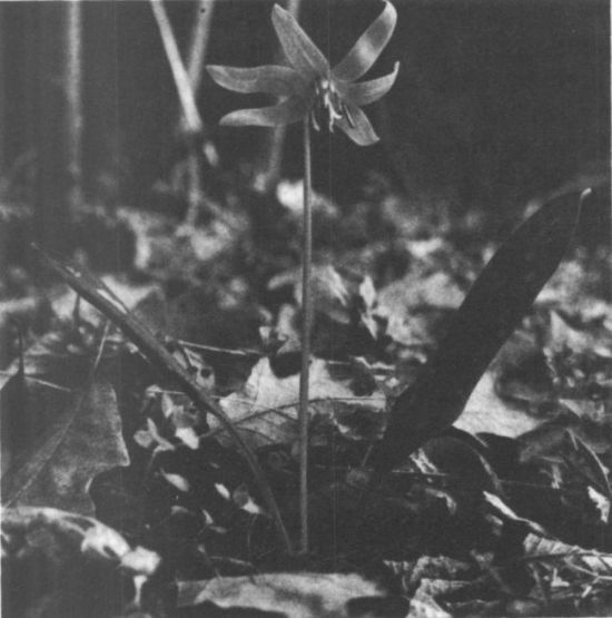Kakasmandikó (Erythroniumdens-canis) 2000 Ft 885299eff7